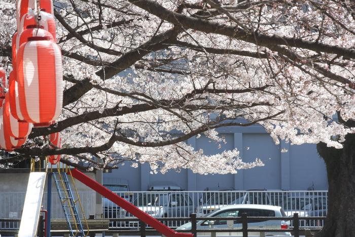 やっと桜が咲きました。_a0037298_223352.jpg