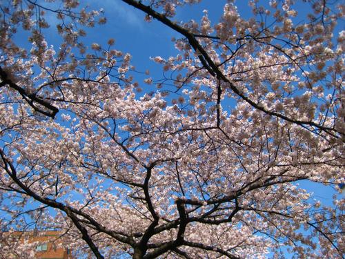 桜_a0036808_1427253.jpg