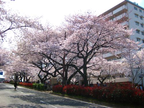 桜_a0036808_14312463.jpg