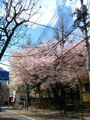 桜_a0036808_1486100.jpg