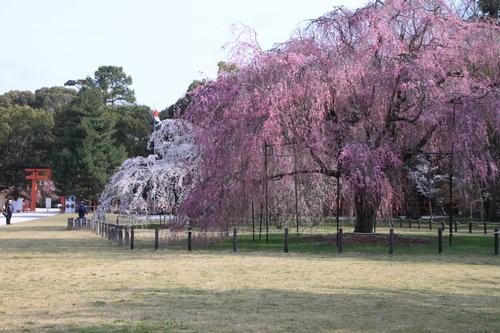 上賀茂神社 咲きそろい_e0048413_22101657.jpg