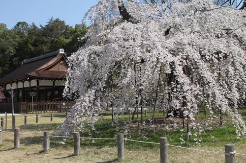 上賀茂神社 咲きそろい_e0048413_2242524.jpg