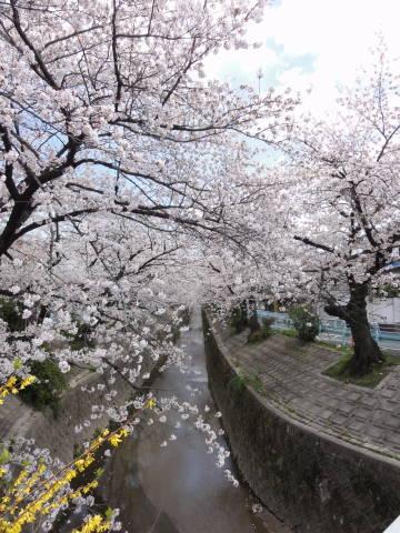 桜満開_f0034816_5381898.jpg