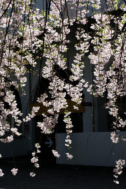 桜散る 大宮公園ですが。。。 _d0150720_9104372.jpg