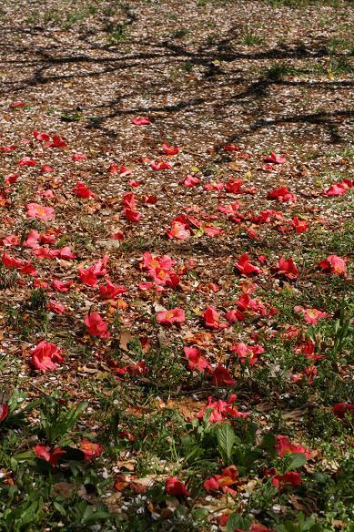 桜散る 大宮公園ですが。。。 _d0150720_9133087.jpg