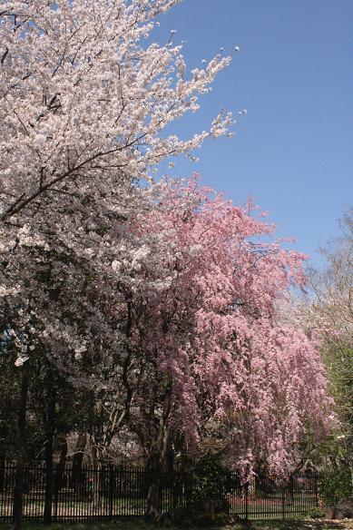 桜散る 大宮公園ですが。。。 _d0150720_975956.jpg