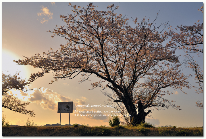 SAKURA 2012 ~夕日の光を浴びて輝く~_f0235723_17422267.jpg