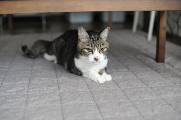 甲状腺機能亢進症【猫が嘔吐する原因】病気の原因がわからないとき。通常の血液検査では判明しません。_b0162726_11455068.jpg