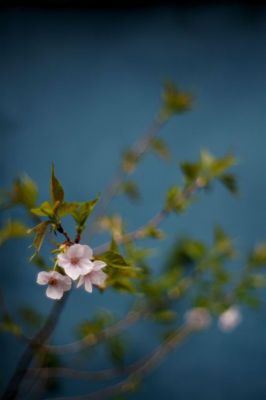 花の薄墨、萼の紅、葉の蒼、幹の漆黒……そして花吹雪。_e0044929_6214072.jpg