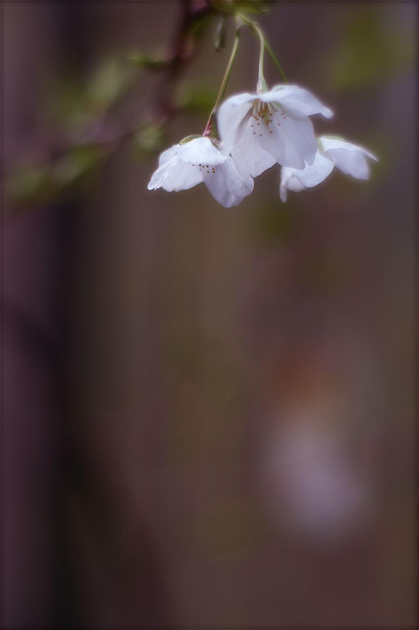 花の薄墨、萼の紅、葉の蒼、幹の漆黒……そして花吹雪。_e0044929_6223585.jpg
