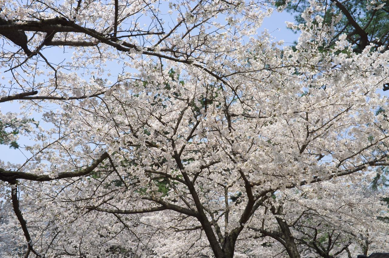 夙川の桜、最終編!_b0160331_16415725.jpg