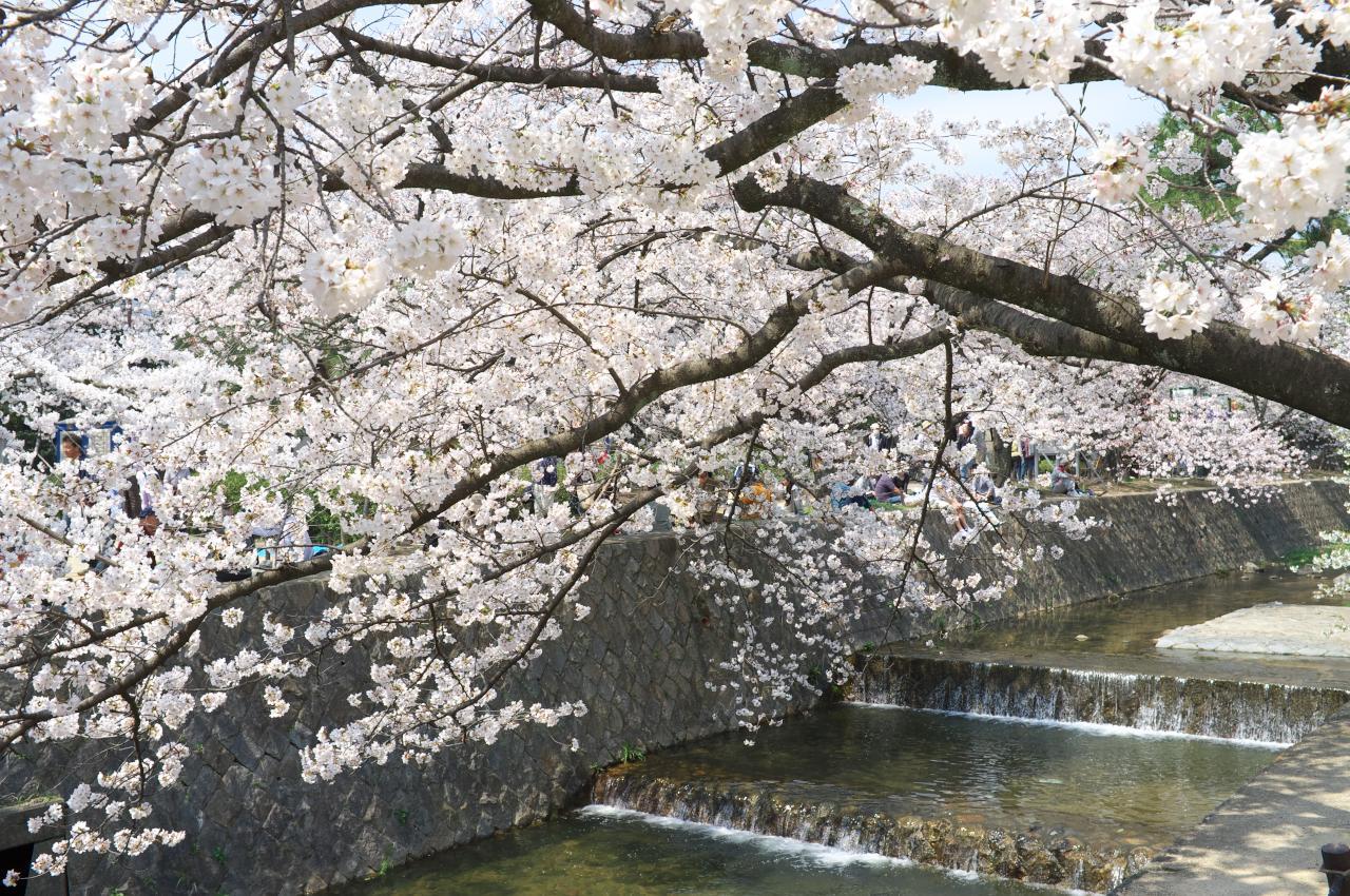 夙川の桜、最終編!_b0160331_16423135.jpg