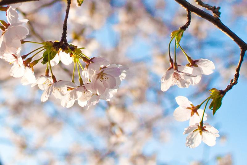 桜ふたたび[八王子の桜]_d0214541_1763520.jpg