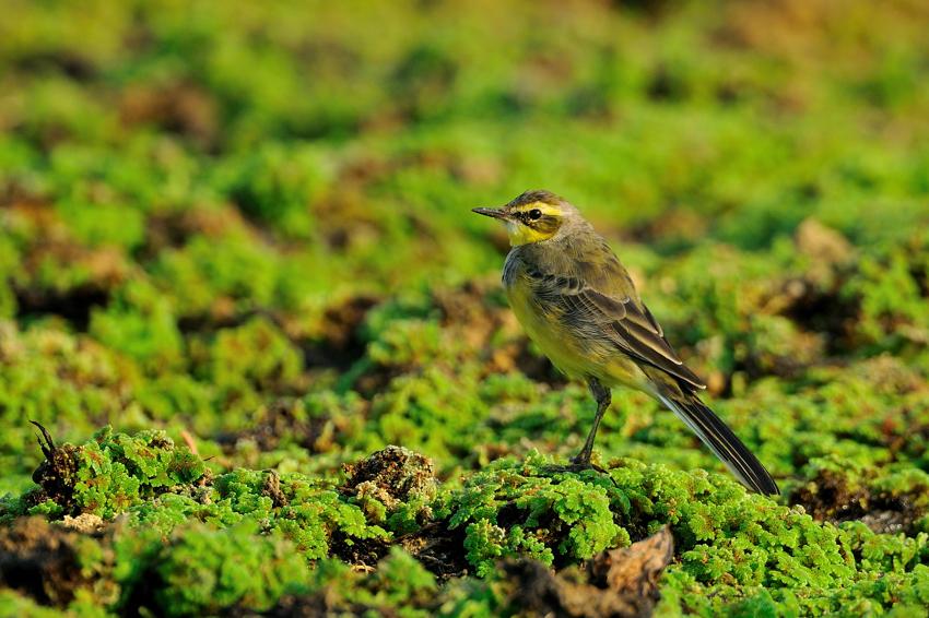 ツメナガセキレイ(Yellow Wagtail)~2012.04_b0148352_0112224.jpg
