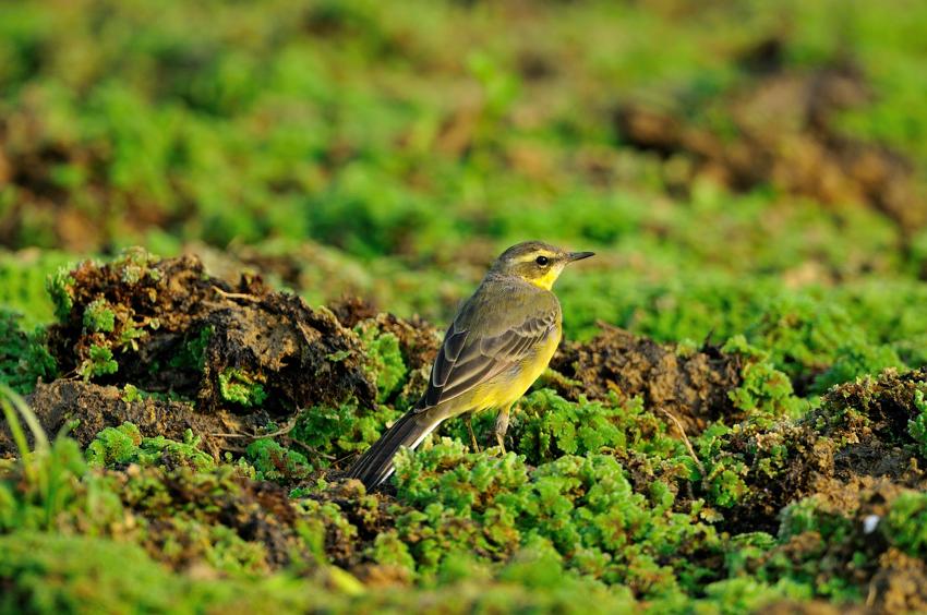 ツメナガセキレイ(Yellow Wagtail)~2012.04_b0148352_0113733.jpg