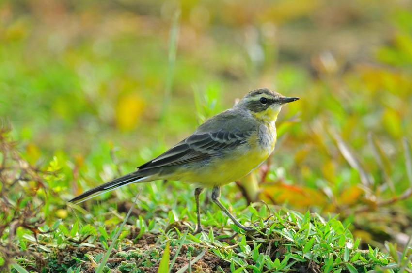 ツメナガセキレイ(Yellow Wagtail)~2012.04_b0148352_011463.jpg