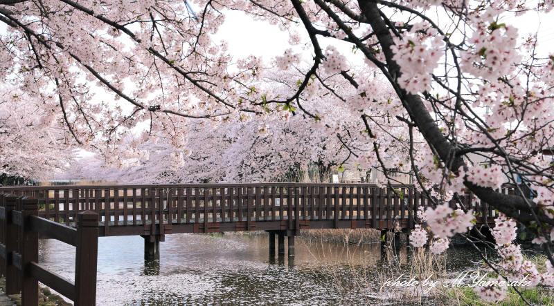 桜 鳥 桜 鳥 桜_c0217255_625287.jpg