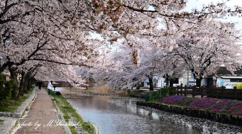 桜 鳥 桜 鳥 桜_c0217255_6303968.jpg