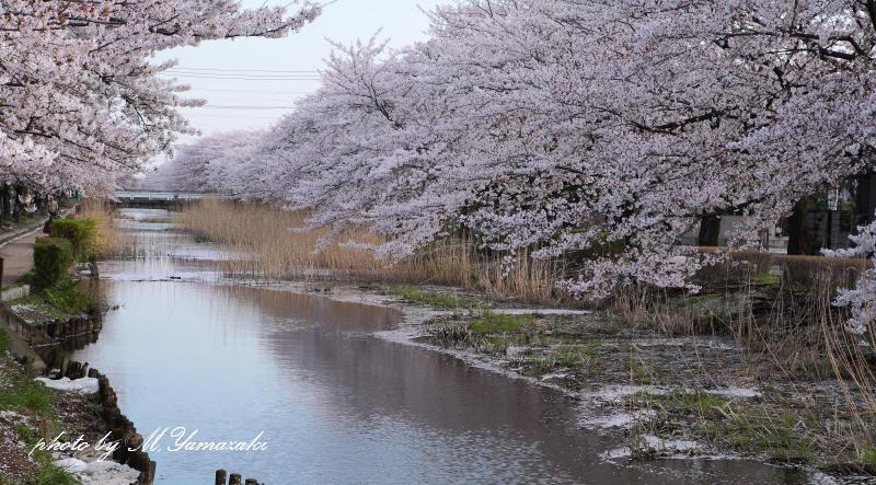 桜 鳥 桜 鳥 桜_c0217255_631697.jpg