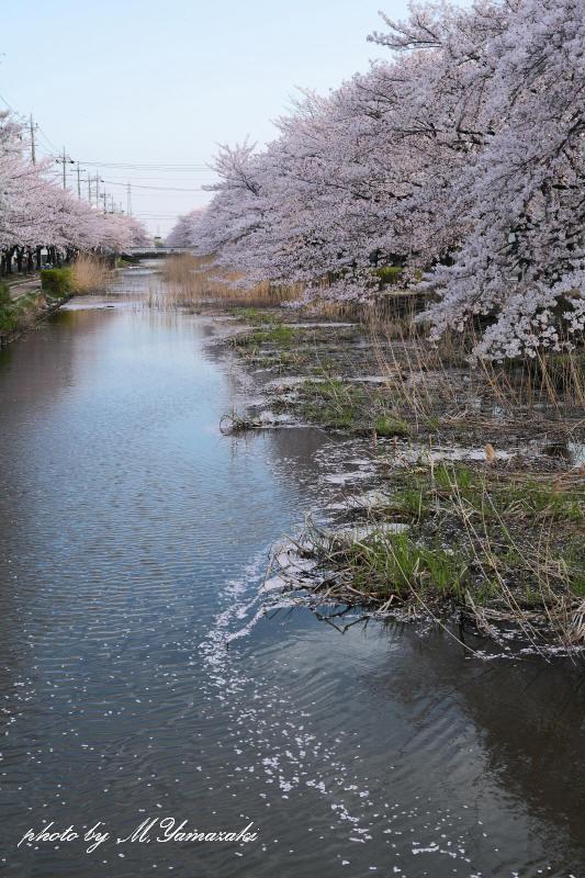 桜 鳥 桜 鳥 桜_c0217255_6322595.jpg