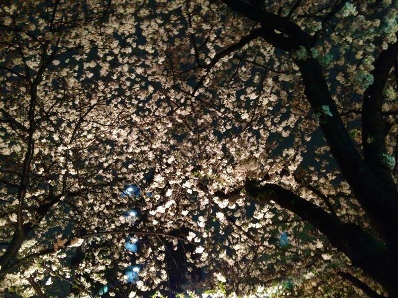 雨のお花見 ☆ 中目黒_c0151965_1623183.jpg