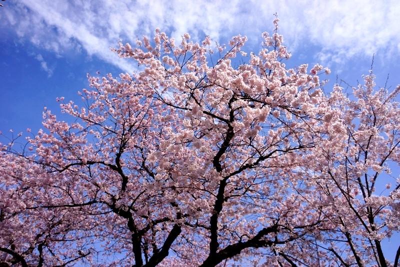 12年4月13日・日立市桜_c0129671_1843462.jpg