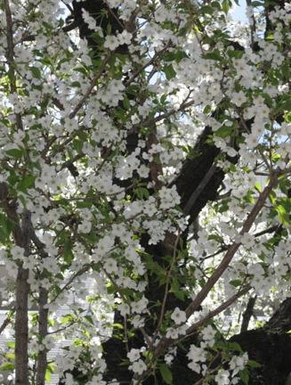 葉桜_f0061394_17331196.jpg