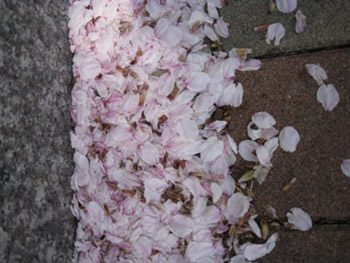 葉桜_f0061394_17353940.jpg