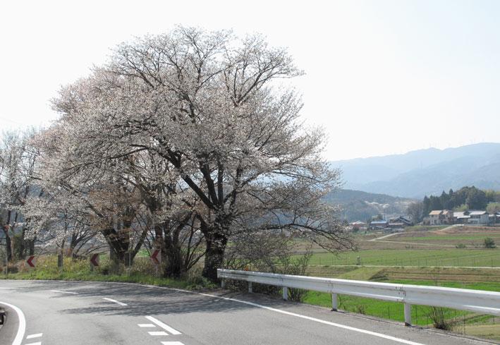 榊原の桜全開_b0145296_723781.jpg