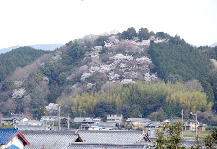 榊原の桜全開_b0145296_830223.jpg