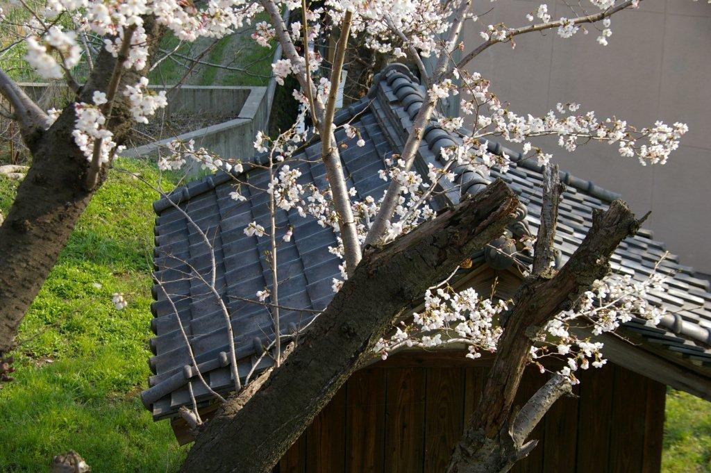 八尾市の桜_f0138096_1221215.jpg