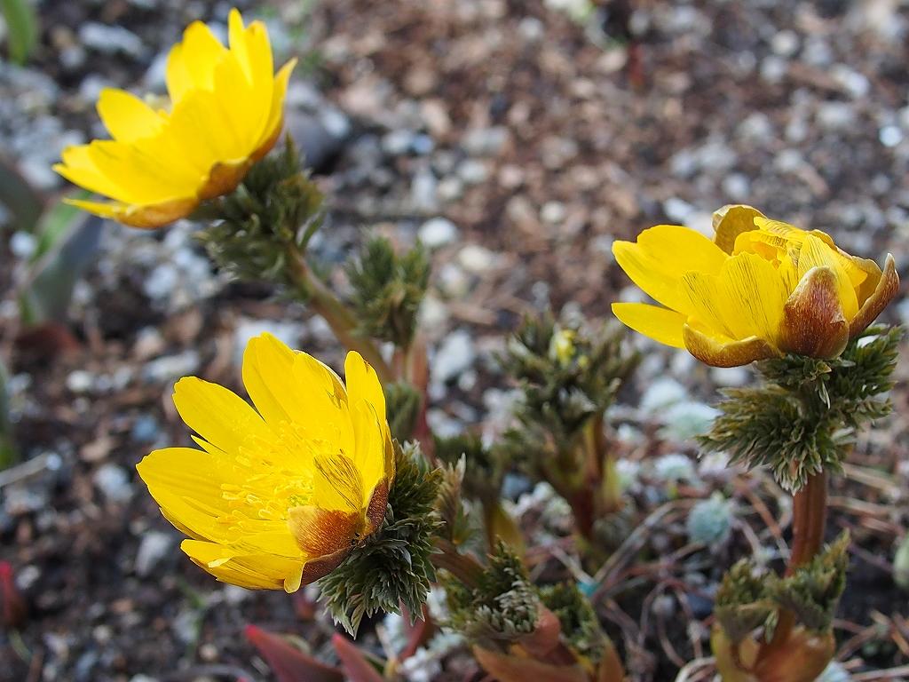 近所の庭の花とコゲラ_f0138096_2192964.jpg