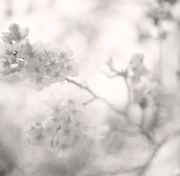 今年の桜_d0127209_2320758.jpg