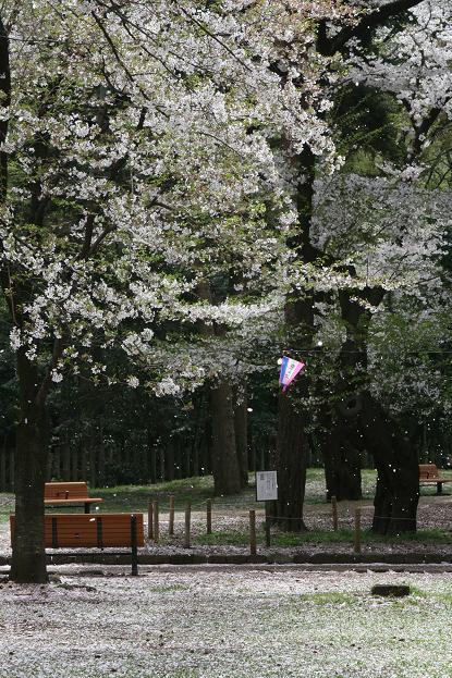 大宮公園 桜の終わり_d0150720_11125757.jpg