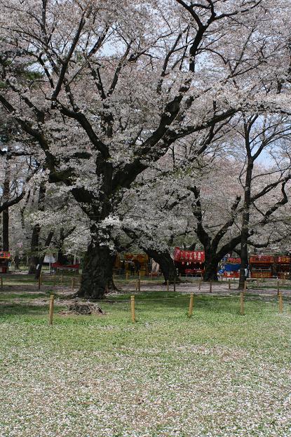 大宮公園 桜の終わり_d0150720_11255041.jpg