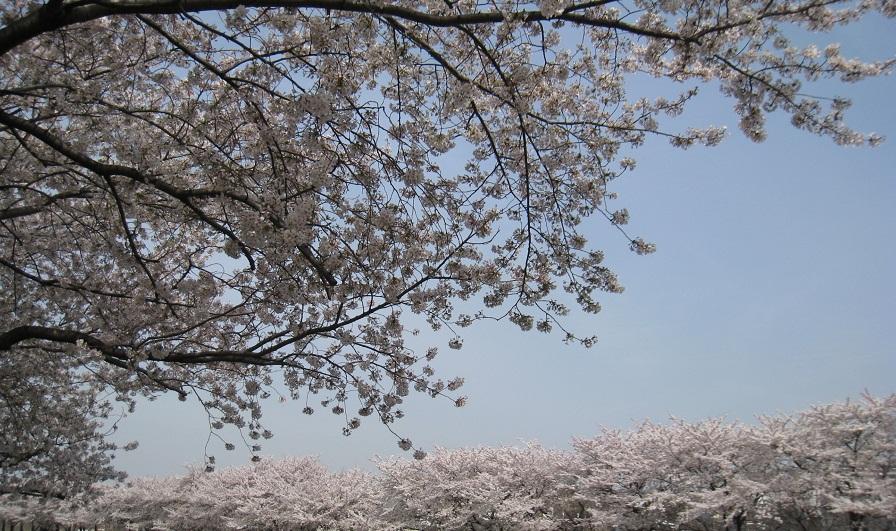 桜ふわり_d0168831_124257.jpg
