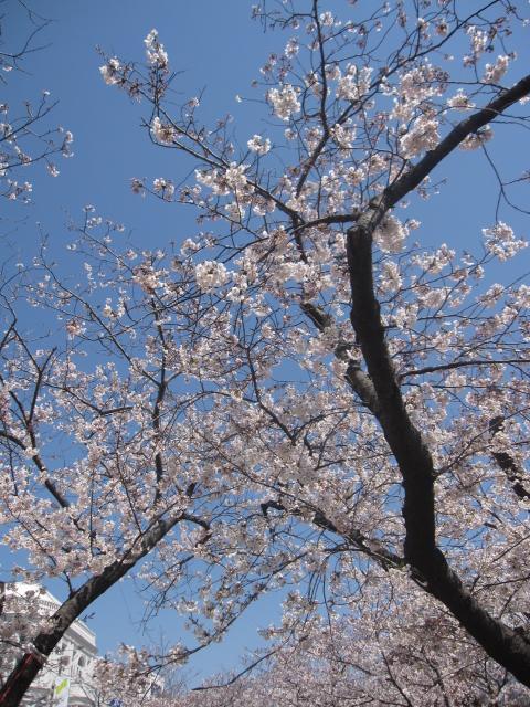 今年の桜_f0180433_15125445.jpg