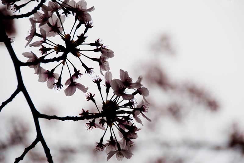 今年の桜ももう終わり[稲城の桜]_d0214541_9384520.jpg