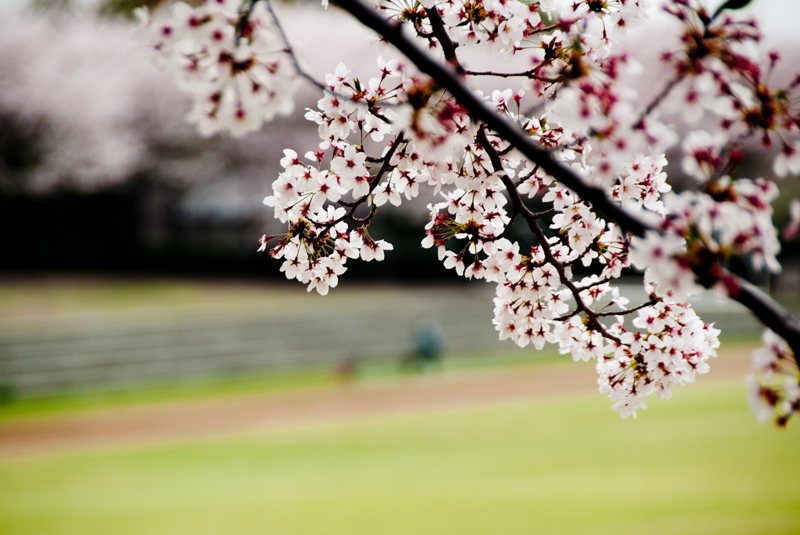 今年の桜ももう終わり[稲城の桜]_d0214541_9395464.jpg