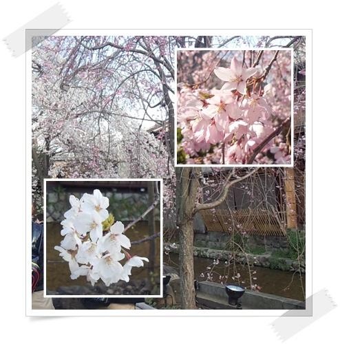 今年の桜は_c0049950_22113121.jpg