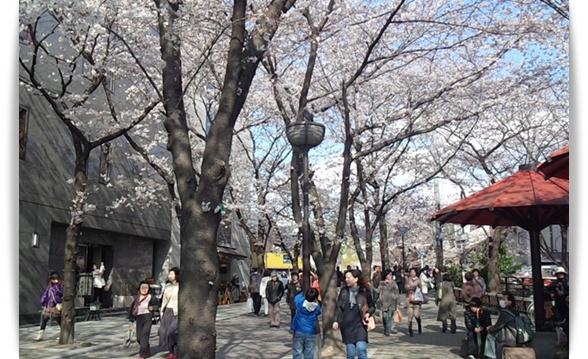 今年の桜は_c0049950_2215261.jpg