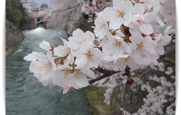 今年の桜は_c0049950_2226184.jpg