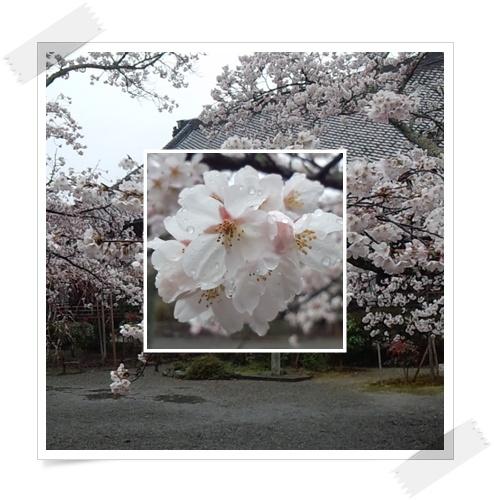 今年の桜は_c0049950_22375836.jpg