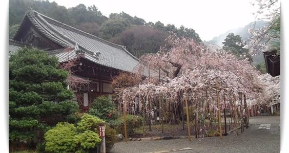 今年の桜は_c0049950_22382149.jpg