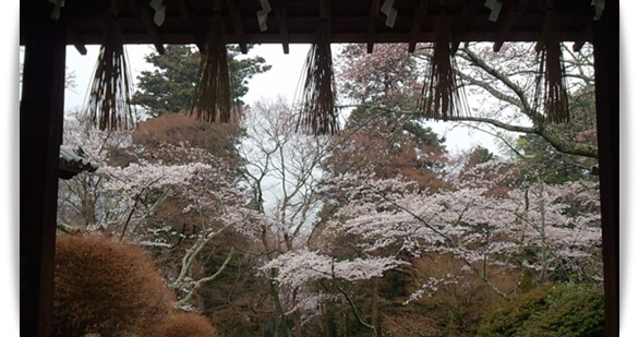 今年の桜は_c0049950_2238428.jpg