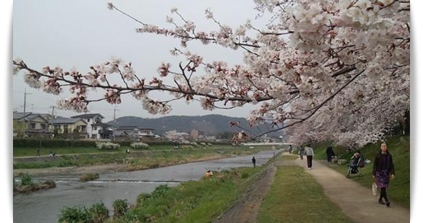 今年の桜は_c0049950_22414928.jpg