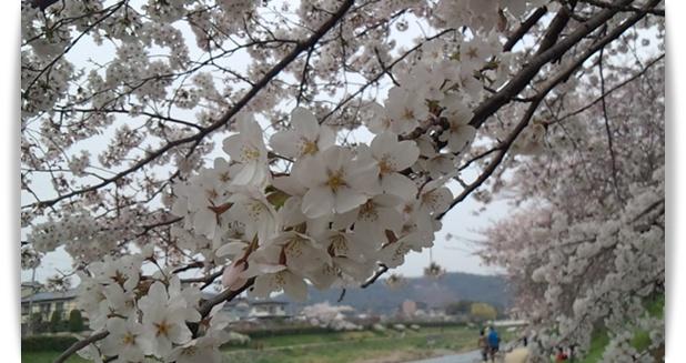 今年の桜は_c0049950_22422275.jpg