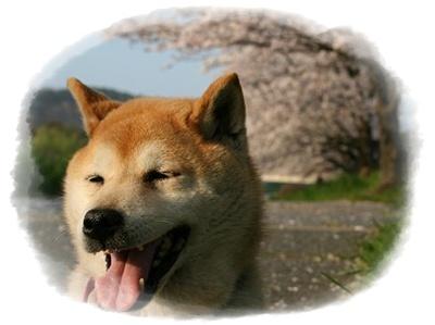 今年の桜は_c0049950_225669.jpg