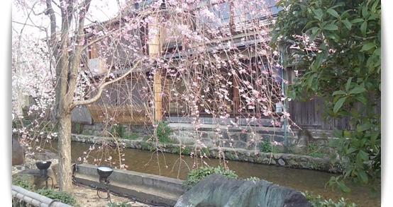 今年の桜は_c0049950_2285075.jpg