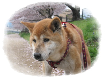 今年の桜は_c0049950_2311661.jpg